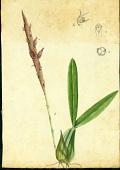 view Bulbophyllum pachyrhachis (A. Rich.) Griseb. digital asset number 1