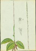view Prescottia oligantha (Sw.) Lindl. digital asset number 1