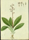 view Liparis nervosa (Thunb.) Lindl. digital asset number 1