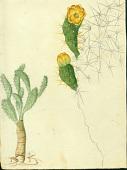 view Opuntia moniliformis (L.) Haw. ex Steud. digital asset number 1
