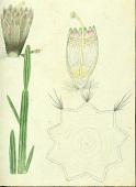 view Pilosocereus royenii (L.) Byles & G.D. Rowley digital asset number 1