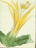 view Hylocereus undatus (Haw.) Britton & Rose digital asset number 1