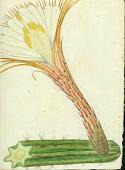 view Selenicereus grandiflorus (L.) Britton & Rose digital asset number 1