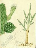 view Harrisia portoricensis Britton digital asset number 1