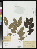view Berlinia acuminata digital asset number 1