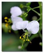 view Aneilema umbrosum (Vahl) Kunth subsp. umbrosum digital asset number 1