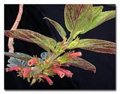 view Columnea spathulata Mansf. digital asset number 1