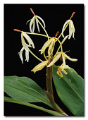 view Hedychium hasseltii Blume digital asset number 1