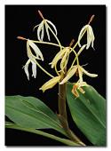 view Hedychium hasseltii Blume digital asset number 1