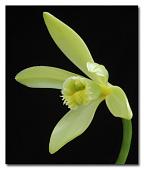 view Vanilla planifolia Jacks. ex Andrews digital asset number 1