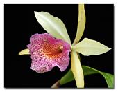 view Brassolaeliocattleya 'Keowee 'Newberry'' digital asset number 1