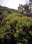 view Weinmannia marquesana F. Br. var. marquesana digital asset number 1