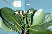 view Psychotria florencei Lorence & W.L. Wagner digital asset number 1