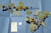 view Waltheria tomentosa (J.R. Forst. & G. Forst.) H. St. John digital asset number 1