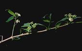 view Gynochthodes myrtifolia (A. Gray) Razafim. & B. Bremer digital asset number 1