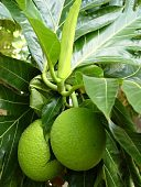view Artocarpus altilis (Parkinson) Fosberg digital asset number 1