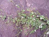view Sidastrum paniculatum (L.) Fryxell digital asset number 1