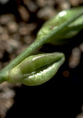 view Oenothera sp. digital asset number 1