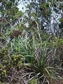 view Gahnia vitiensis subsp. kauaiensis (Benl) T. Koyama digital asset number 1