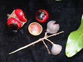 view Alectryon macrococcus Radlk. var. macrococcus digital asset number 1