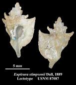 view Eupleura stimpsonii Dall, 1889 digital asset number 1