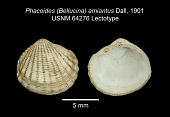 view Phacoides (Bellucina) amiantus Dall, 1901 digital asset number 1