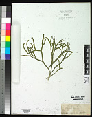 view Codium decorticatum (Woodw.) M. Howe digital asset number 1