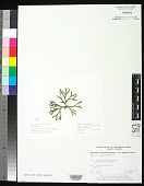 view Codium decorticatum (Woodw.) M. Howe digital asset number 1
