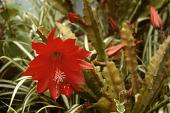 view Epiphyllum ackermanii digital asset number 1