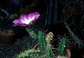 view Echinocereus berlandieri var. blankii digital asset number 1