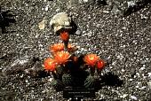 view Trichocereus auricolor Backeb. digital asset number 1