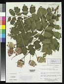 view Koelreuteria paniculata Laxm. digital asset number 1