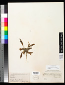 view Oenothera primiveris A. Gray digital asset number 1
