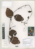 view Passiflora rufa Feuillet & J.M. MacDougal digital asset number 1