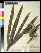 view Freycinetia funicularis (Sav.) Merr. digital asset number 1