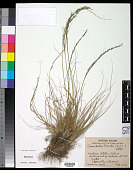 view Sporobolus poiretii (Roem. & Schult.) Hitchc. digital asset number 1