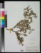 view Rubus ferdinandi-muelleri Focke digital asset number 1