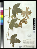 view Passiflora mixta L. f. digital asset number 1