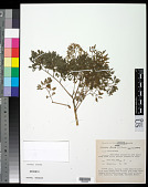 view Polyscias fruticosa (L.) Harms digital asset number 1