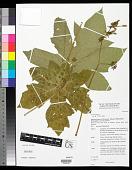 view Carica papaya L. digital asset number 1