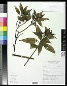view Melastoma malabathricum L. digital asset number 1