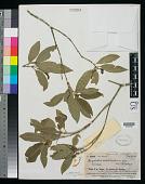 view Psychotria archboldiana Fosberg digital asset number 1