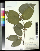 view Ficus fulvopilosa var. hololampra digital asset number 1