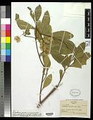 view Dodonaea viscosa var. vulgaris Benth. digital asset number 1