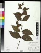 view Colubrina asiatica (L.) Brongn. digital asset number 1