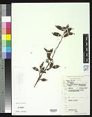 view Solanum expedunculatum Symon digital asset number 1