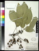 view Cupaniopsis concolor (Gillespie) R.W. Ham digital asset number 1