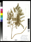 view Asparagus officinalis L. digital asset number 1