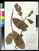 view Boschia grandiflora Mast. digital asset number 1