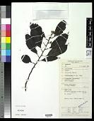 view Payena acuminata (Blume) Pierre digital asset number 1